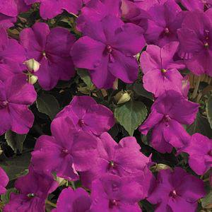 Xtreme Lilac Impatiens