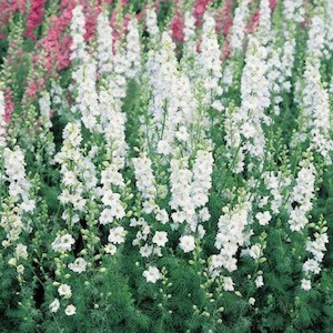 Qis white larkspur op seeds 2bseeds qis white larkspur op mightylinksfo