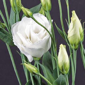 Borealis White Lisianthus