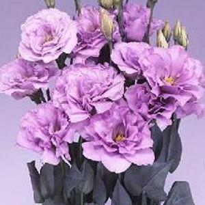 Echo Lavender Lisianthus