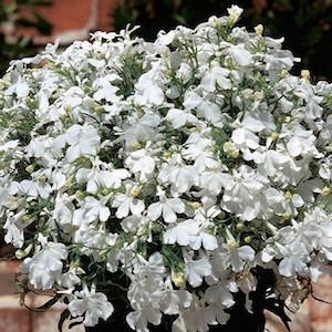 Riveria White Lobelia-Mounding