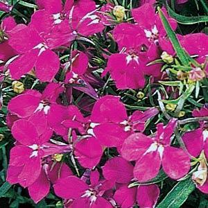 Riveria Rose Lobelia -Mounding
