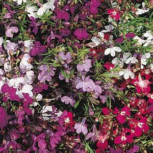 Regatta Mix Lobelia Seeds-Trailing
