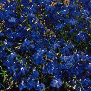Regatta Marine Blue Lobelia Seeds-Trailing
