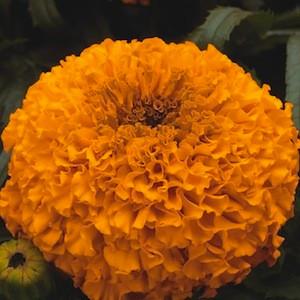 Moonsong Deep Orange-Marigold Seeds -African Semi Dwarf