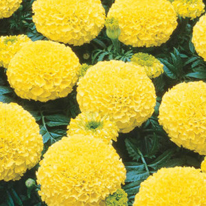 Marvel Yellow Marigold Seeds - African Semi Dwarf