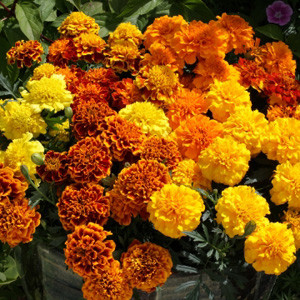 Cresta Mix Marigold Seeds - French Crested