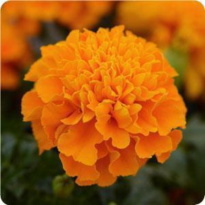 Hot Pak™ Orange Marigold Seeds - French