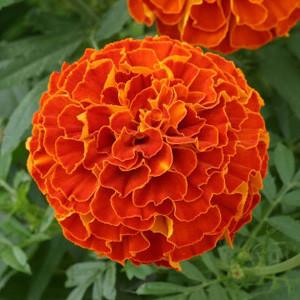 Zenith Red Marigold Seeds - Triploid