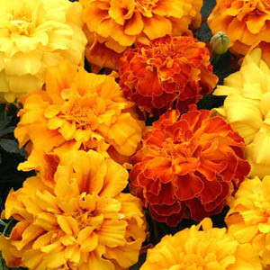Zenith Mix Marigold Seeds - Triploid