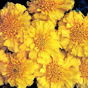Zenith Yellow Marigold Seeds - Triploid