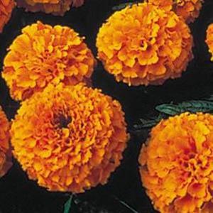 Lady Orange Marigold Seeds - African
