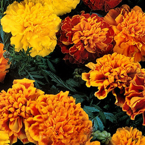 Janie Mix Marigold Seeds French Crested