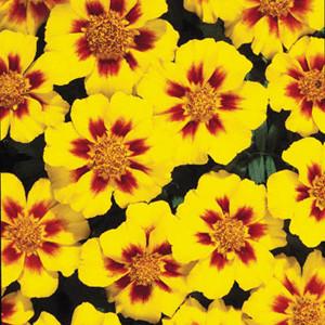 Disco Marietta Marigold Seeds -French Single