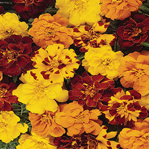 Durango Outback Marigold Seeds -French Anemone
