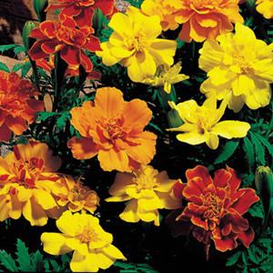 Safari Mix Marigold Seeds -French Anemone