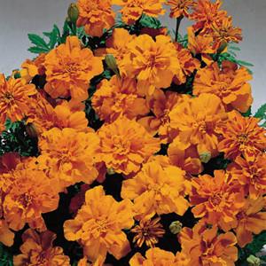 Safari Tangerine Marigold Seeds-French Anemone