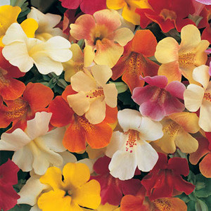 Mimulus Magic Mix
