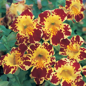 Mimulus Magic Yellow Blotch