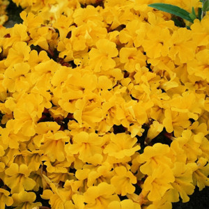 Mimulus Magic Yellow