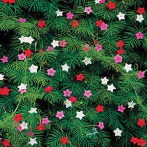 Cypress Vine Morning Glory