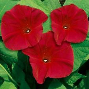 Scarlet O'Hara Red Morning Glory