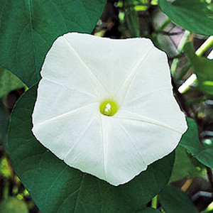Moonflower White Ipomoea