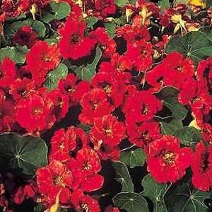 Whirlybird Mahogany Red Nasturtium