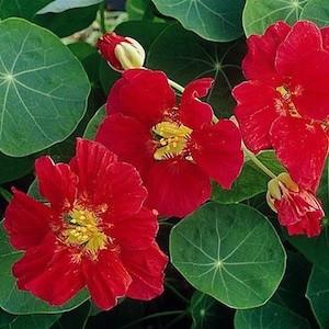 Whirlybird Cherry Rose Nasturtium
