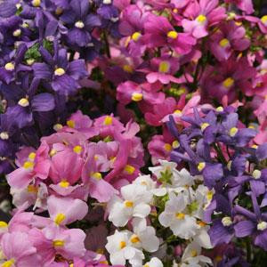 Poetry Mix Nemesia