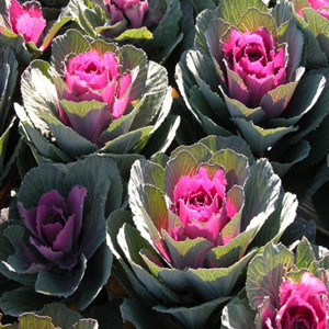 Ornamental Kale Chidori Red