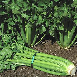 Organic Celery Seeds, Tango