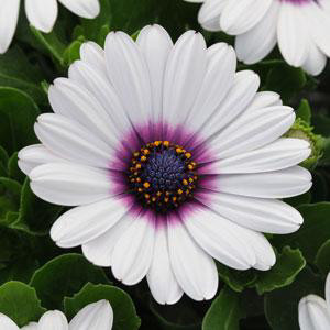 Akila® White with Purple Eye Osteospermum