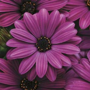 Akila® Purple Osteospermum