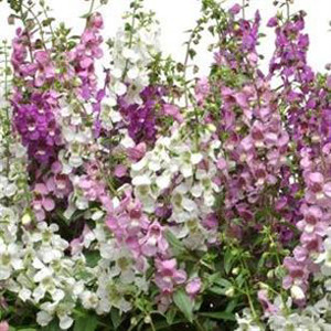 Angelonia Serena Mix Seeds