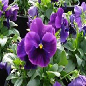 Delta™ Premium Pure Violet Pansy
