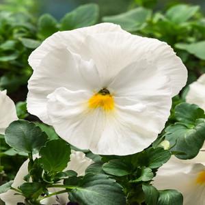 Delta™ Premium Pure White Pansy