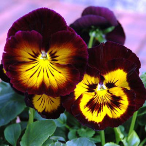 Karma™ Midnight Sun Pansy