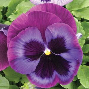 Majestic Giant II Blue Jeans Pansy