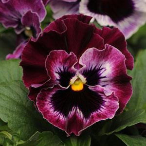 Frizzle Sizzle Raspberry Pansy