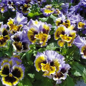 Frizzle Sizzle Yellow/Blue Swirl Pansy
