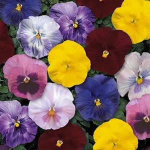 Delta™ Monet Mix Pansy