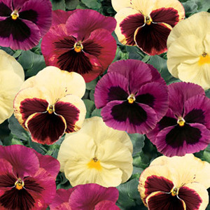 Delta™ Apple Cider Mix Pansy