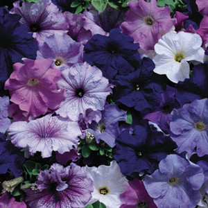 Aladdin Nautical Mix Petunia