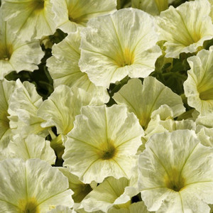 Aladdin Yellow Petunia