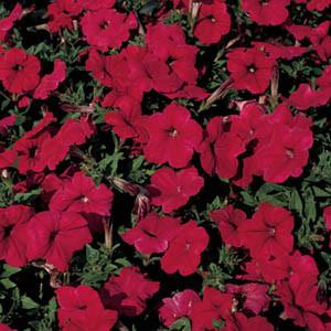 Celebrity Red Petunia
