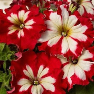 Can Can Harlequin Cherry Rose Petunia