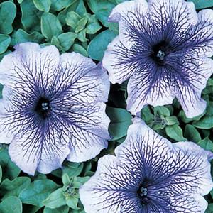 Daddy Blue Petunia