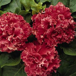 Double Valentine Petunia