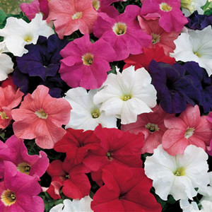 Dreams Mix Petunia